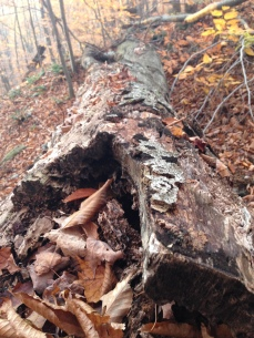 fallen log in the fall