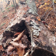 fallen log in the fall